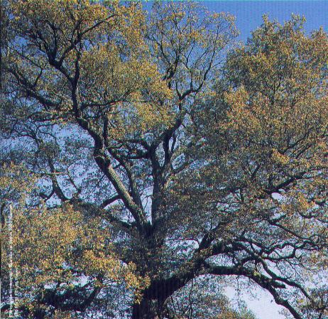 Plant an Oak